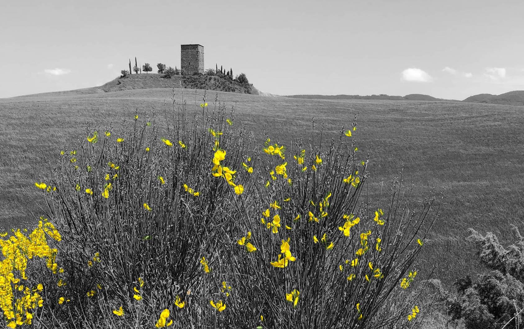 Ginestre in fiore a Maggio